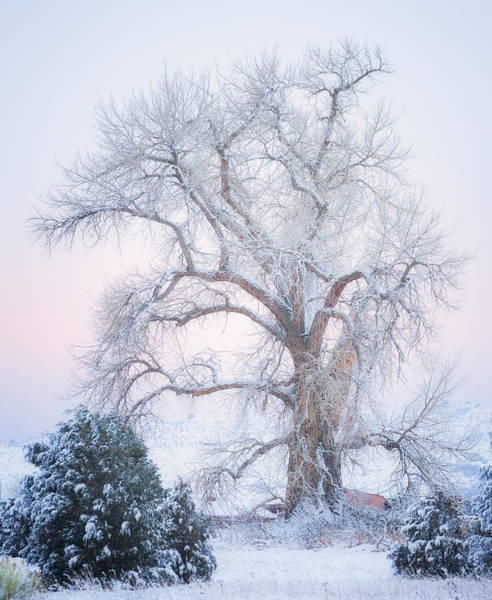 Photograph - Tree Of Snow by Darren  White