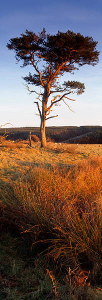 Scarborough Photograph - Tree On A Landscape, Golden Hour by Panoramic Images