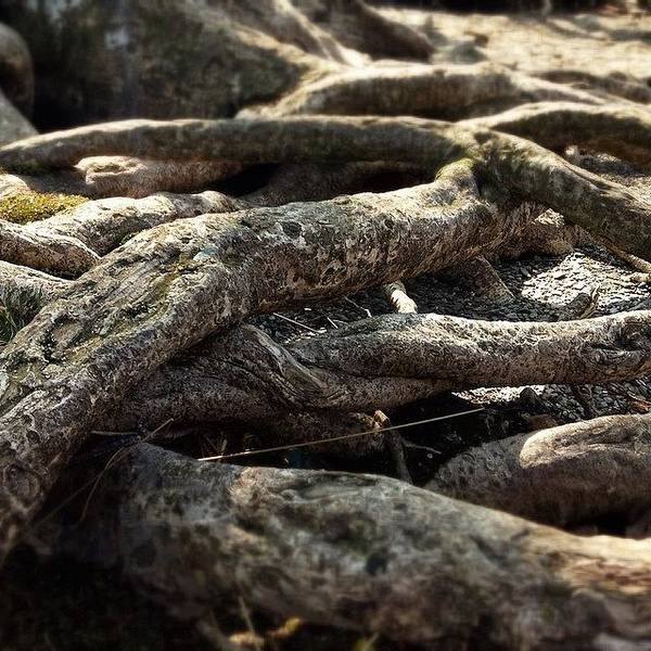 Detail Photograph - Tree Roots  by Sean Cahill
