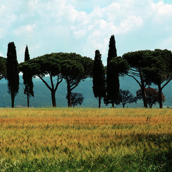 Photograph - Tree Row In Tuscany by Heiko Koehrer-Wagner