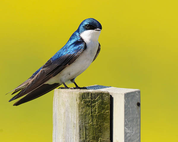 Digital Art - Tree Swallow by Angel Cher