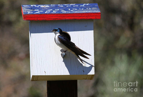 Swallow Photograph - Tree Swallow Home by Mike  Dawson