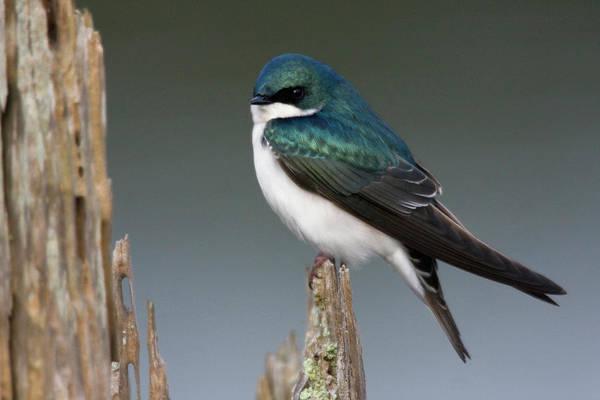 Ken Photograph - Tree Swallow by Ken Archer