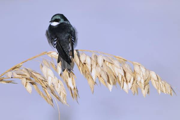 Photograph - Tree Swallow On Sea Oats by Bradford Martin