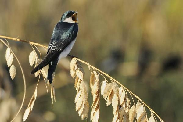 Photograph - Tree Swallow On Sea Oats Calling by Bradford Martin