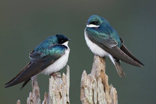 Ken Photograph - Tree Swallows by Ken Archer