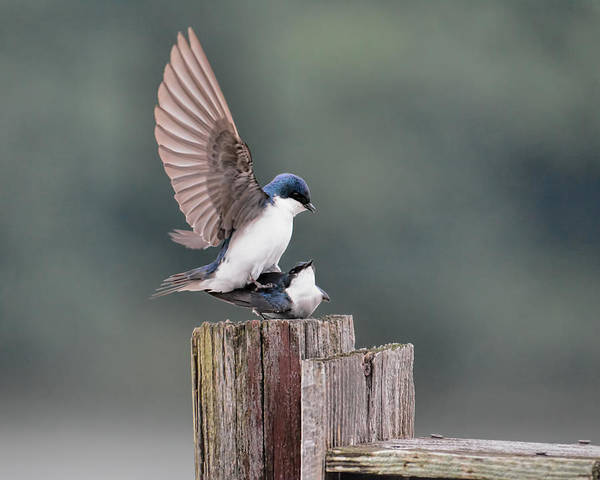 Photograph - Tree Swallows Mating 3 by Jai Johnson