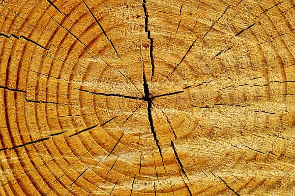 Cross Section Photograph - Tree Trunk by Fabrizio Troiani