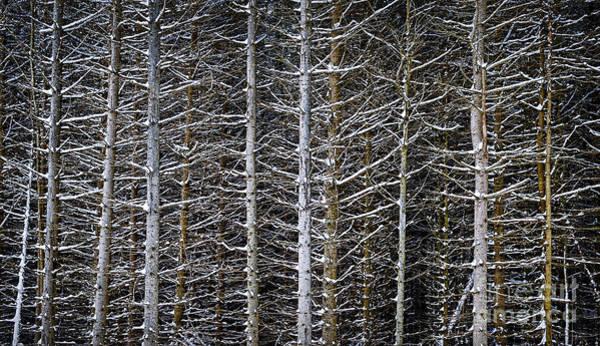 Wall Art - Photograph - Tree Trunks In Winter by Elena Elisseeva