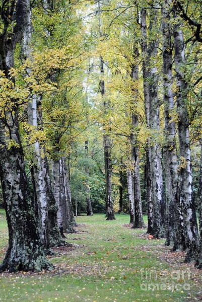 Photograph - Tree Walk by Rachael Shaw