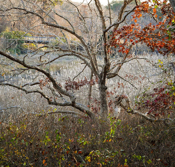 Photograph - Tree With Bridge by Frank Winters