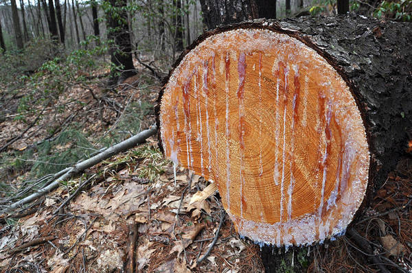 Photograph - Tree With Sap Seepage by Staci Bigelow