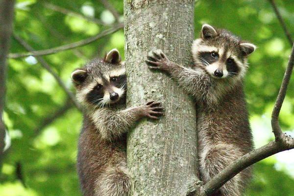 Raccoon Photograph - Treehuggers by Alina Morozova