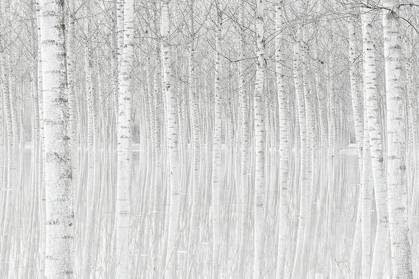 Birch Photograph - Trees by Aglioni Simone