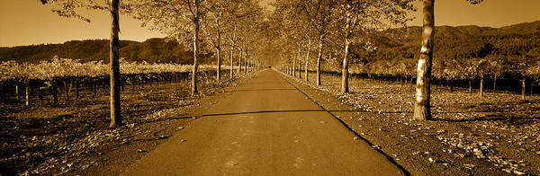 Rutherford Photograph - Trees Along A Road, Beaulieu Vineyard by Panoramic Images