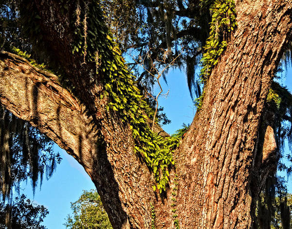 Photograph - Trees And Moss by Maggy Marsh