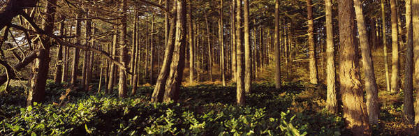 Peacefulness Photograph - Trees And Salals In A Forest At Sunset by Panoramic Images