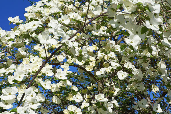 Wall Art - Photograph - Trees Blossoming Art Prints White Dogwoods by Baslee Troutman