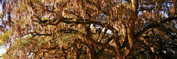 Pleasant Photograph - Trees Covered With Spanish Moss, Boone by Panoramic Images