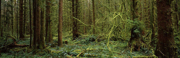 Peacefulness Photograph - Trees In A Forest, Hoh Rainforest by Panoramic Images