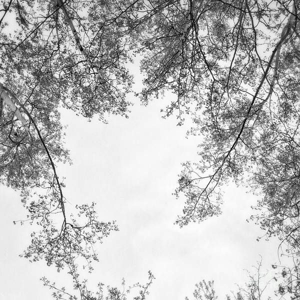 Canopy Photograph - Trees In Black And White by Priska Wettstein