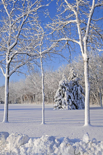 Wi Photograph - Trees In Snow  Wisconsin by Anonymous