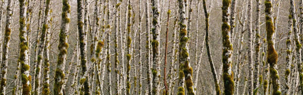 Alder Photograph - Trees In The Forest, Red Alder Tree by Panoramic Images