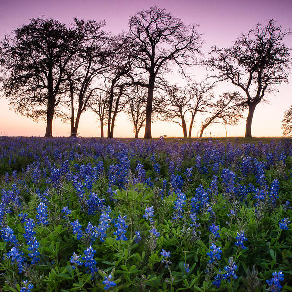 Wall Art - Photograph - Trees On The Top Of Bluebonnet Hill - Wildflower Field In Lake Somerville Texas by Ellie Teramoto
