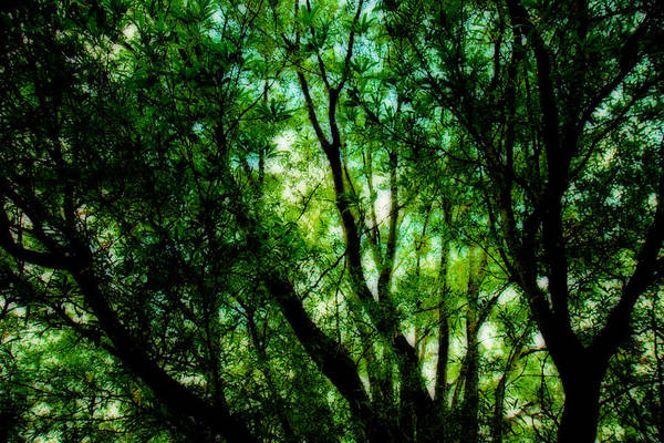 Photograph - Treetops 1 by Denise Beverly