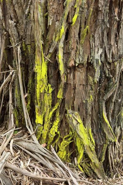 Eucalyptus Photograph - Trentepohlia On Eucalyptus Viminalis by Dr Jeremy Burgess