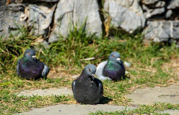Photograph - Tres Pigeons by Matt Swinden