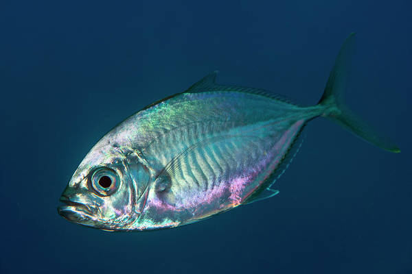 Trevally Photograph - Trevally Fish by Louise Murray