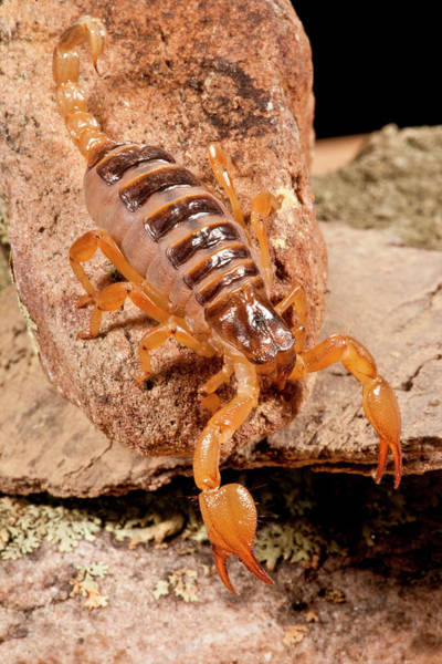 Scorpion Wall Art - Photograph - Tri-color Burrowing Scorpion by David Northcott