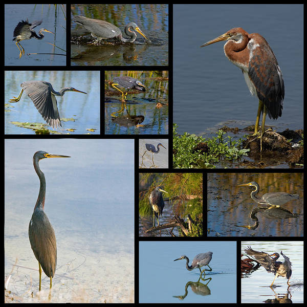 Photograph - Tri-color Heron Collage by Dawn Currie