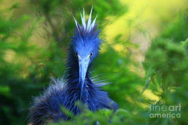Photograph - Tri-colored Heron In Breeding Colors by John F Tsumas
