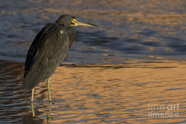 Photograph - Tri-colored Heron Photo by Meg Rousher