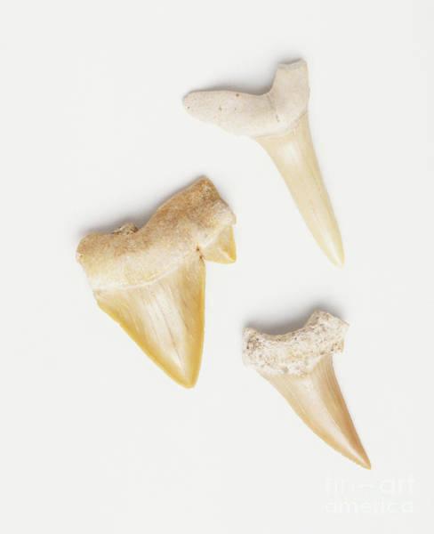 Photograph - Triangular Animal Teeth by Dorling Kindersley