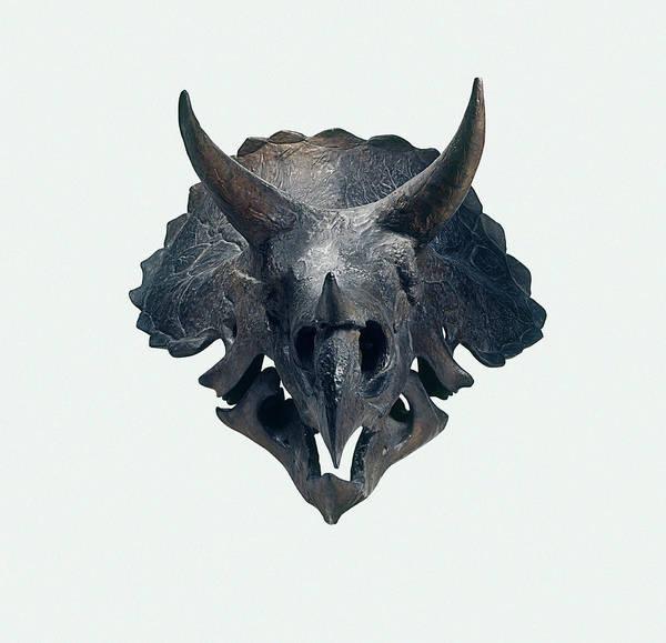 Cretaceous Wall Art - Photograph - Triceratops Skull by Dorling Kindersley/uig