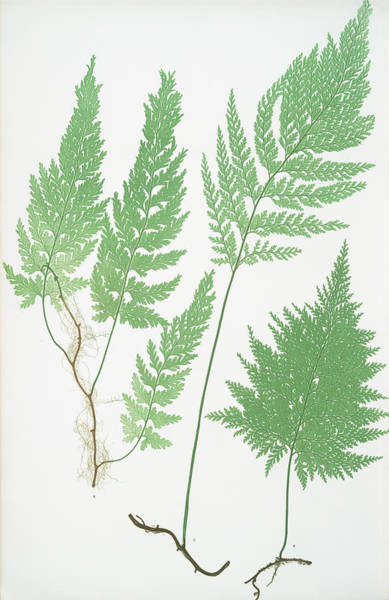 Ferns Drawing - Trichomanes Radicans by Litz Collection