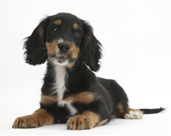 Cocker Spaniel Photograph - Tricolor Working Cocker Spaniel Puppy by Mark Taylor