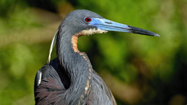 Photograph - Tricolored Heron by Bill Dodsworth