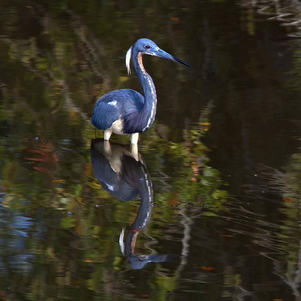 Photograph - Tricolored Heron by Carol Erikson