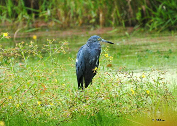 Photograph - Little Blue Heron by Dan Williams