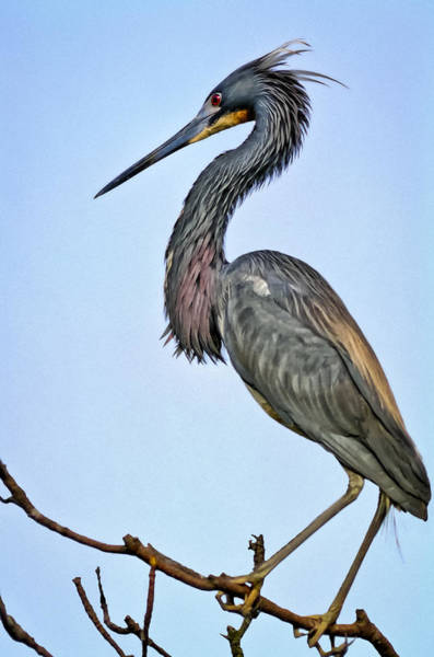Photograph - Tricolored Heron by Patrick M Lynch