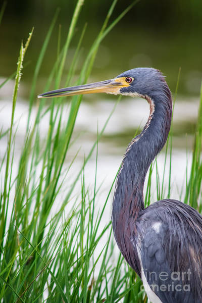Craw Wall Art - Photograph - Tricolored Heron by Robert Frederick