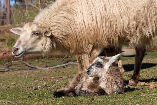 Ovine Photograph - Tricolored Newborn  by Kathleen Bishop