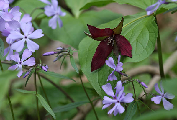 Photograph - Trillium And Phlox by Daniel Reed