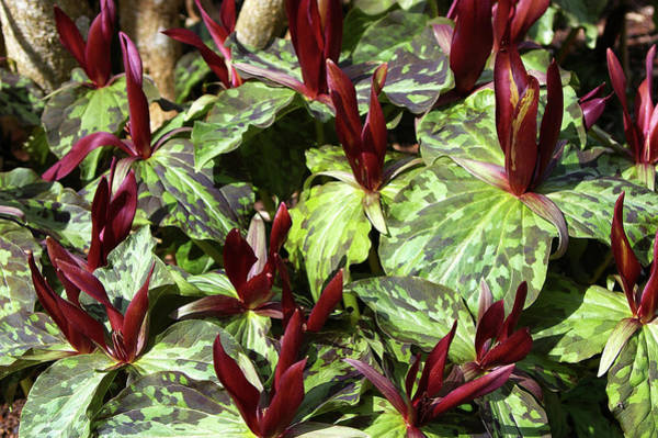 Wall Art - Photograph - Trillium Chloropetalum by Neil Joy/science Photo Library
