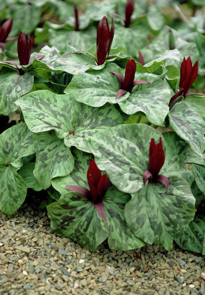 Red Robin Photograph - Trillium Chloropetalum Var. Giganteum by Mike Comb/science Photo Library