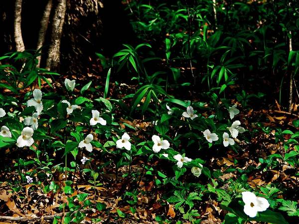 Photograph - Trillium In Morning Sun by Michelle Calkins